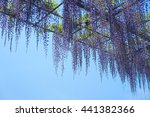 Violet Vines Of Wisteria...
