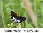Small photo of Butterfly from the Taiwan (Tagiades cohaerens Mabille) White skirt skipper butterfly