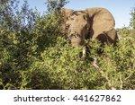 African Bush Elephant Hiden...