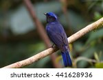 large niltava | Shutterstock . vector #441628936