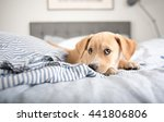 adorable small terrier mix... | Shutterstock . vector #441806806
