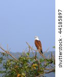 Wild Eagle On A Branch  In Goa...