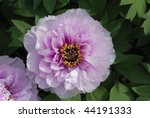 close up of peony  paeonia ... | Shutterstock . vector #44191333