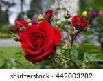 Stock photo bush of red roses blooming green floral spring petal flower summer gardening red flora 442003282