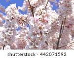 cherry blossoms | Shutterstock . vector #442071592