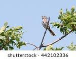 Song Sparrow  Melospiza Melodia