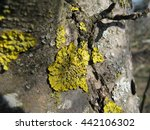 yellow lichen on a tree close up   Shutterstock . vector #442106302