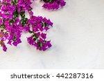 Fuchsia And Purple Bracts Of...