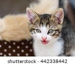 baby tabby cat in kitty basket | Shutterstock . vector #442338442