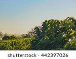 coffee   field of coffee... | Shutterstock . vector #442397026