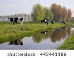 Cows Along A Ditch Near The...