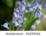 Bluebells Coming Into Bloom...