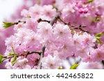 close up of blossom sakura in... | Shutterstock . vector #442465822