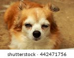 brown chihuahua dog | Shutterstock . vector #442471756