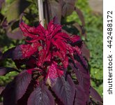 Small photo of Brilliant red shades of amaranthus a cosmopolitan genus of annual or short-lived perennial plants add summer color to the urban street scape with fancy shaped ornamental leaves.