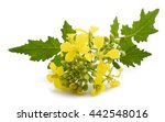 mustard flowers isolated on... | Shutterstock . vector #442548016