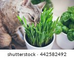 Cat Is Eating Fresh Green Gras...
