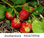 Ripe Strawberries In The Garden