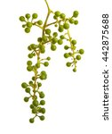 young grapes on the vine.... | Shutterstock . vector #442875688