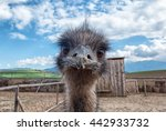 Curious Young Ostrich In Zoo ...