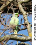 Small photo of The rose-ringed parakeet (Psittacula krameri), known as the ring-necked parakeet, is Afro-Asian parakeet species. They have a distinctive green colour.