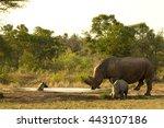mother rhino and calf encounter ... | Shutterstock . vector #443107186