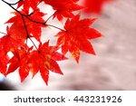 japanese maple | Shutterstock . vector #443231926