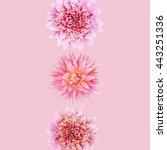 Pink Flowers Of Dahlia On A...