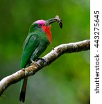 red bearded bee eater ... | Shutterstock . vector #443275645