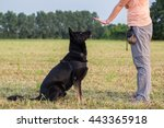 Stock photo black german shepherd training sit command 443365918