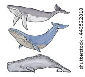 whales collection humpback...   Shutterstock .eps vector #443522818