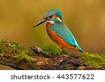 beautiful kingfisher with clear ... | Shutterstock . vector #443577622