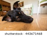 Stock photo dog sitting obedient on a wooden floor and waiting for his master 443671468