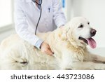 Stock photo medicine pet animals health care and people concept close up of veterinarian or doctor with 443723086