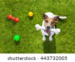 Stock photo  jack russell terrier dog in park with toys playing with owner 443732005