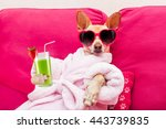 Stock photo chihuahua dog relaxing and lying in spa wellness center wearing a bathrobe and funny 443739835