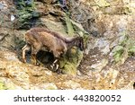 a  goat on the rock in the... | Shutterstock . vector #443820052