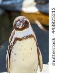 Small photo of African penguin. African penguin (spheniscus demersus), also known as the jackass penguin