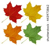 Colorful Maple Leaves Isolated...