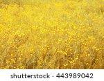 wild gold meadow full of yellow ... | Shutterstock . vector #443989042