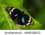 Beautiful Butterfly Blue Pansy...