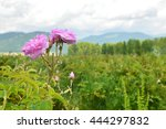 Stock photo close up image of rose blossom in rose field industrial rose farming for rose oil production 444297832