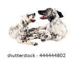 Two English Setters In A White...