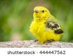 Yellow Bird on a Limb (canary black nape Asia Thailand).