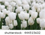 Beautiful White Tulips...