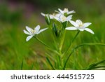 white flower. common star of...   Shutterstock . vector #444515725