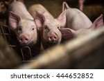pigs on the farm. | Shutterstock . vector #444652852