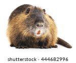 Large Nutria Isolated On A...