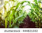 corn agriculture. green nature. ... | Shutterstock . vector #444821332