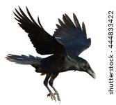 Birds   Common Raven  Corvus...
